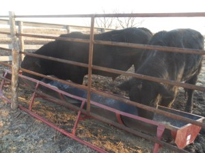 Tank is on the left.  Heifer bull JohnCoffey is on the right.